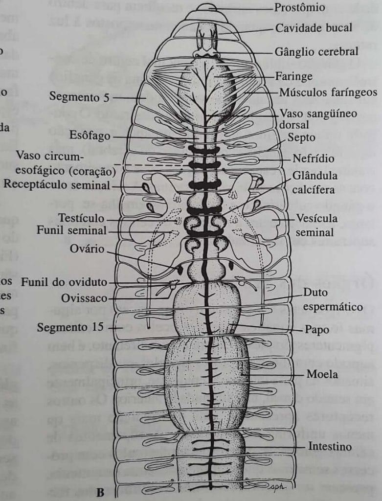 Detalhes de uma minhoca