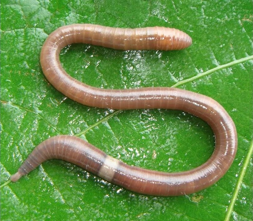 Amynthas gracilis (minhoca puladeira)