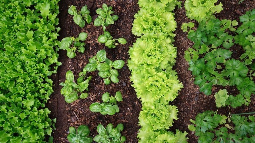Horta em casa um canteiro de hortaliças